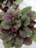 Ajuga reptans Sugar Plum 1L Pot